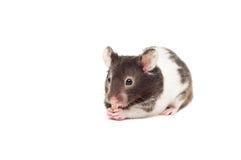 Syrische hamster Stock Afbeelding