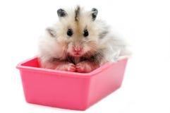 Syrische Hamster 2 royalty-vrije stock foto