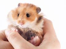 Syrische hamster in de handen van een mens royalty-vrije stock afbeeldingen