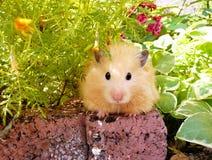 Syrische hamster in de lentetuin onder bloemen Stock Afbeeldingen