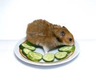 Syrische hamster op een plaat met komkommer Stock Foto's