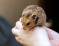 Syrischer Hamster Browns mit gefüllten Backen in den Händen lokalisiert Lizenzfreies Stockfoto