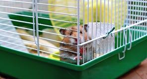 Syrischer Hamster Browns zerfrisst innerhalb eines Käfigs Lizenzfreies Stockbild