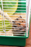 Syrischer Hamster Browns zerfrisst innerhalb eines Käfigs, der zur Freiheit eifrig ist Lizenzfreie Stockfotografie