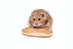 Syrischer Hamster Browns zerfrisst köstlichen Bagel Lizenzfreie Stockbilder
