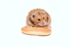 Syrischer Hamster Browns zerfrisst köstlichen Bagel Lizenzfreie Stockfotos