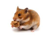 Syrischer Hamster, Goldhamster (Mesocricetus auratus) Lizenzfreies Stockfoto