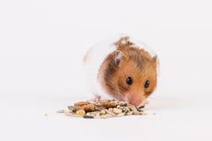 Syrischer Hamster mit Haus Lizenzfreie Stockfotografie