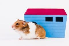 Syrischer Hamster mit Haus Lizenzfreies Stockbild