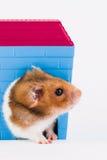 Syrischer Hamster mit Haus Lizenzfreie Stockfotos