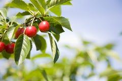 syrliga Cherry Royaltyfri Fotografi