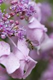 Syrphe and hydrangeas pink and purple stock photos