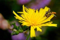 Syrphe (Syrphus ribesil) Stockfotografie