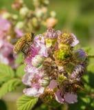 Syrphid或Hoverfly在Backberry植物 库存图片