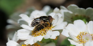 Syrphid on cineraria flowers. Little Eristalinus syrphid on white cineraria flowers Stock Photos
