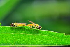 Syrphid flies. The syrphid flies falling a leaf of grass Royalty Free Stock Photos