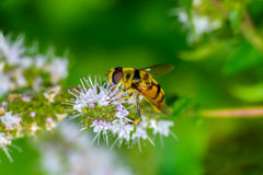 Syrphid flies Stock Images