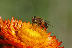 Syrphid fly. On Golden Everlasting flower Royalty Free Stock Photos
