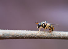 Syrphid fly. On plant twig Stock Photo