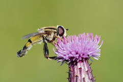 Syrphid fly in the bloom. Detail (close-up) of the syrphid-fly (flower fly Stock Images