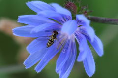Syrphid Fly & Chicory Blossom. A macro image of a syrphid fly, often confused with the honeybee Stock Photos