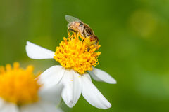 A syrphid fly collecting pollen Stock Photos