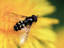 Syrphid Fly on Dandelion. A close-up of a Syrphid Fly on a Dandelion Royalty Free Stock Photography