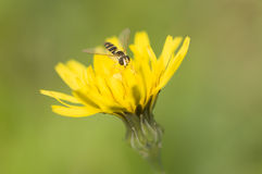 Syrphid fly on dandelion yellow Royalty Free Stock Photos