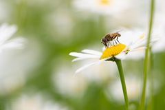 Syrphid fly pollinating and feedeing on daisy. Syrphid flies are bee-looking flies found on meadows Royalty Free Stock Photo