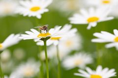 Syrphid fly pollinating and feedeing on daisy. Syrphid flies are bee-looking flies found on meadows Stock Photos
