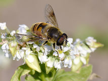 Syrphid Fly. A syrphid fly sitting on buckwheat flowers Stock Images