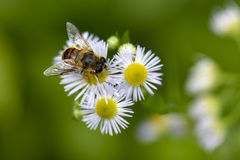 Syrphid Fly. A syrphid fly sitting on daisy fleabane flowers Stock Photos