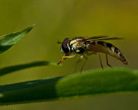Syrphid Fly Sphaerophoria sp. Sitting on a green straw Stock Photos