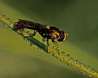 Syrphid Fly Sphaerophoria sp. Sitting on a straw in the dew Stock Photos