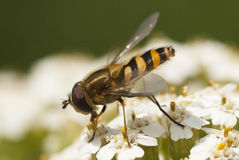 Syrphid fly. (Syrhphidae) foraging for nectar Royalty Free Stock Images