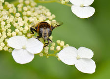 Syrphid. A macro shot of a syrphid sitting on hydrangea Royalty Free Stock Photo