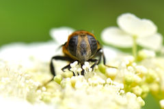 Syrphid. A macro shot of a syrphid sitting on hydrangea Royalty Free Stock Image