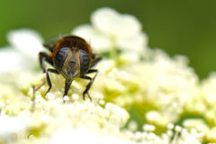 Syrphid. A macro shot of a syrphid sitting on hydrangea Stock Photography