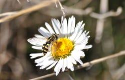 Syrphid pollinisant une fleur de marguerite photos libres de droits