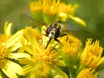 Syrphidae photo stock