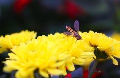 Syrphidae Stock Photography