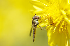 Syrphidae. Syrphid fly is resting on yellow flower Royalty Free Stock Image