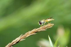 Syrphidae Stock Images