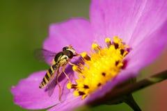 Syrphidae. A Syrphidae are feeding pollen Stock Photo