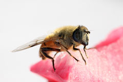 Syrphidae Stock Photo