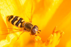 Syrphidae Royalty-vrije Stock Afbeeldingen