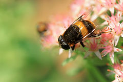 Syrphidae Obrazy Stock