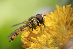Syrphidae Stock Photography