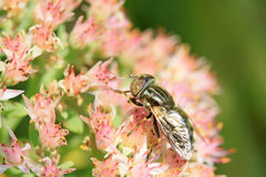 Syrphidae Zdjęcia Royalty Free