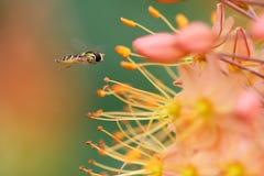 Syrphidae arkivbilder